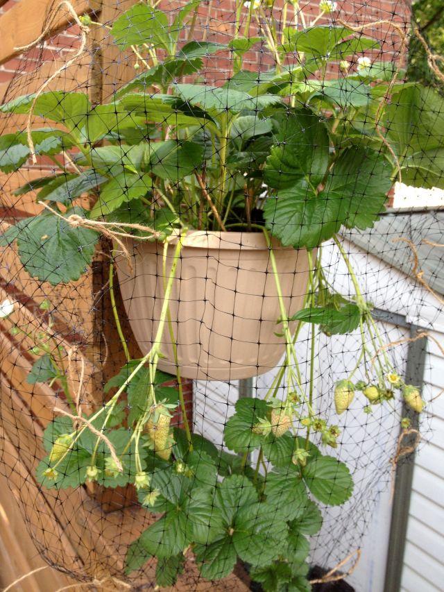nettedstrawberries